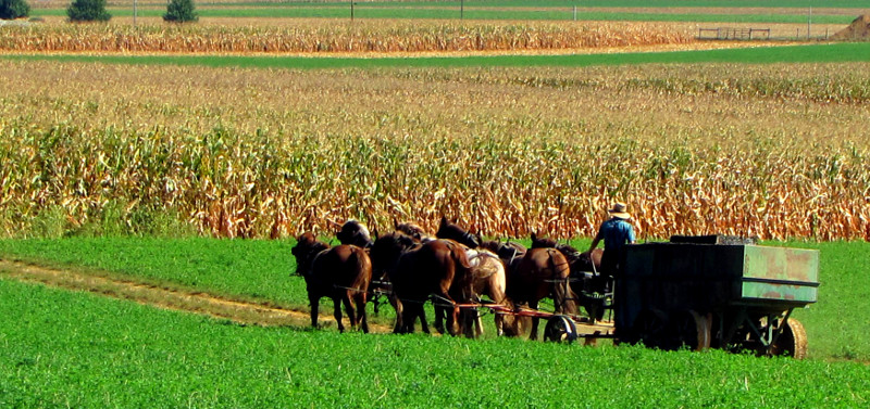 Farmer harvesting with horses.